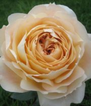 Rose Garden, Caramel Antike-SA