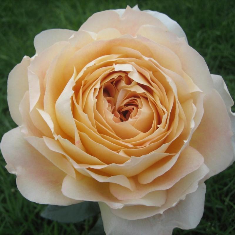 Caramel Antike Rose