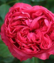 Rose Garden, Carmine Classique-CA