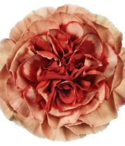 Carnations, Specialty-Fabulous-dusty Pink