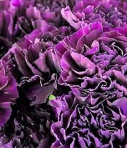 Carnations-purple