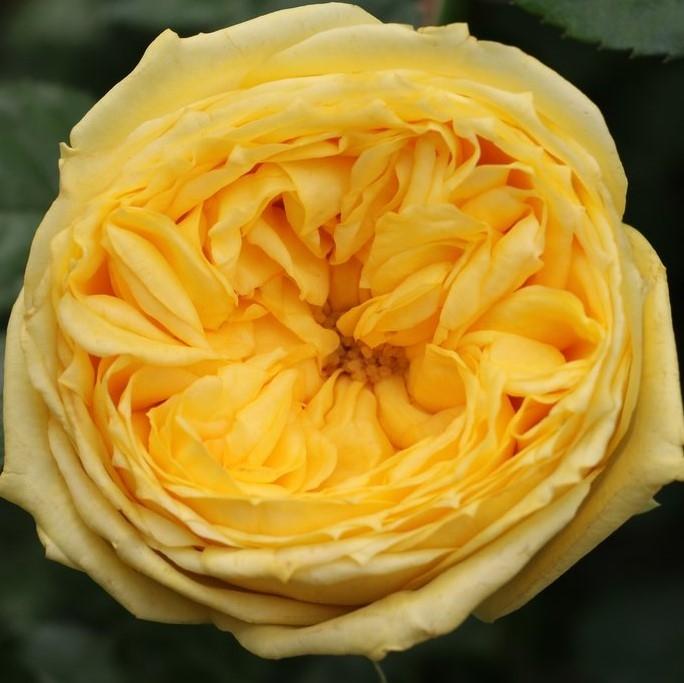wholesale flowers | garden rose catalina