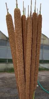 wholesale cattails