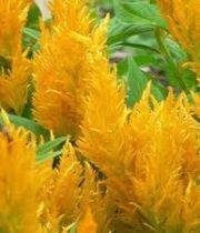 Celosia, Plumosa-yellow