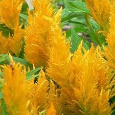 Wholesale Flowers | Celosia-plum-yellow