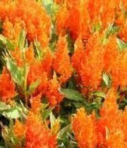 Celosia, Plumosa-orange