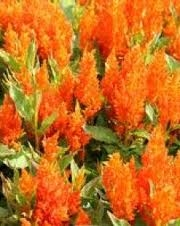 Wholesale Flowers | Celosia-plume-orange