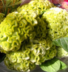Wholesale Flowers | Celosia_Bombay_green