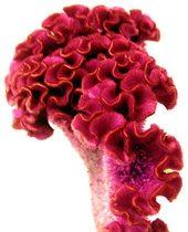 Celosia, Coxcomb-pink