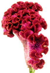 Wholesale Flowers | Celosia_pink