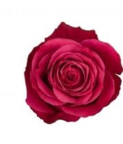 Rose, Cherry O-SA