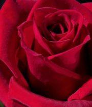 Cherry Love 50cm Roses, SA