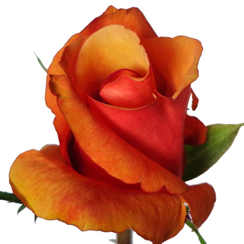 Chillis Rose