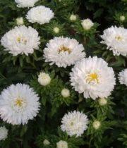 Aster, Matsumoto-white
