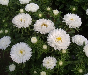 wholesale aster white