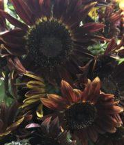 Sunflowers, Chocolate-brown