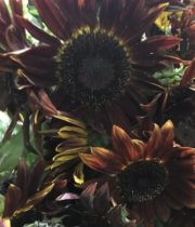 Sunflowers, Chocolate-brown