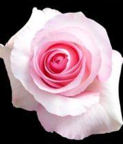 Rose, Christa-SA