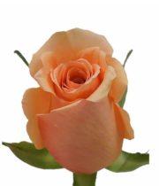 Rose, Cinnamon-SA