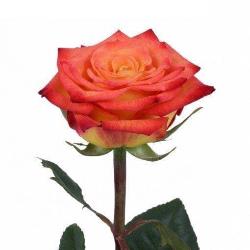 Circus Rose