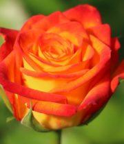 Rose, Circus-CA