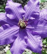 Clematis-purple