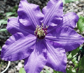 wholesale Clematis_purple