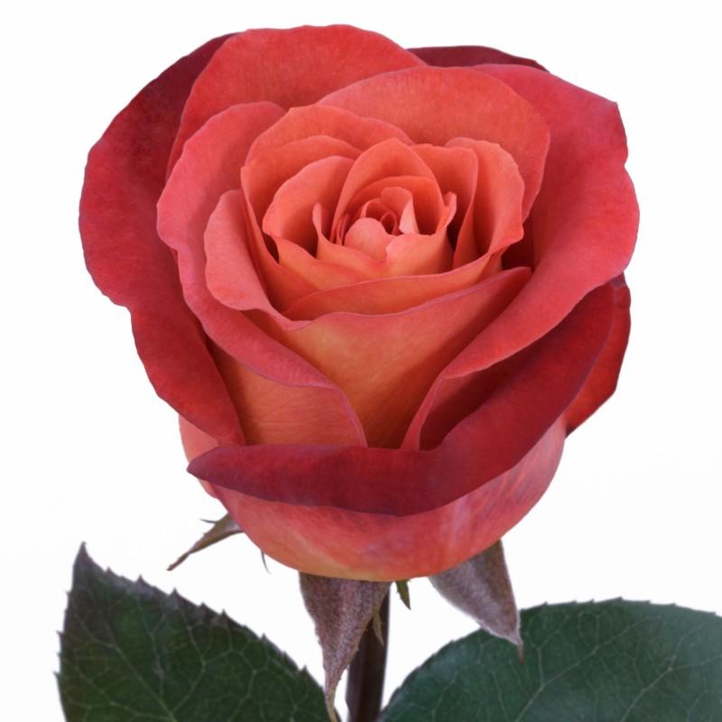 Coffee Break Roses