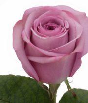 Rose, Cool Water-SA