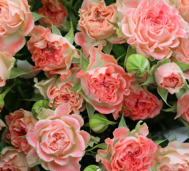 Coral Fiesta Spray Rose