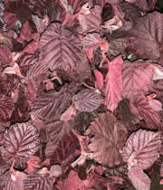 Corylus-red/burgundy