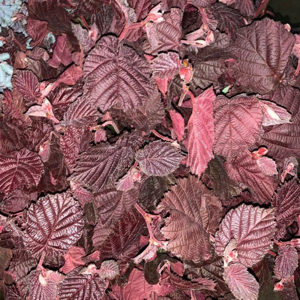 Corylus Red Burgundy