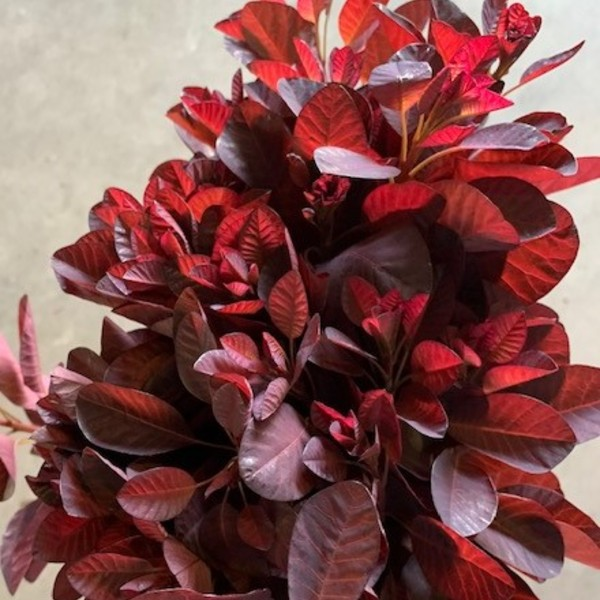 Smokebush Cotinus | Florabundance Wholesale Flowers