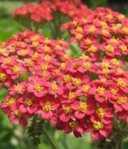 Yarrow, Cottage-red