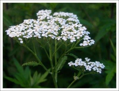 wholesale flowers | yarrow white
