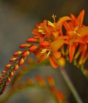 Crocosmia Flower-orange