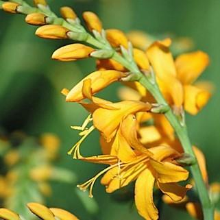 crocosmia-yellow