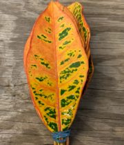 Croton Leaves
