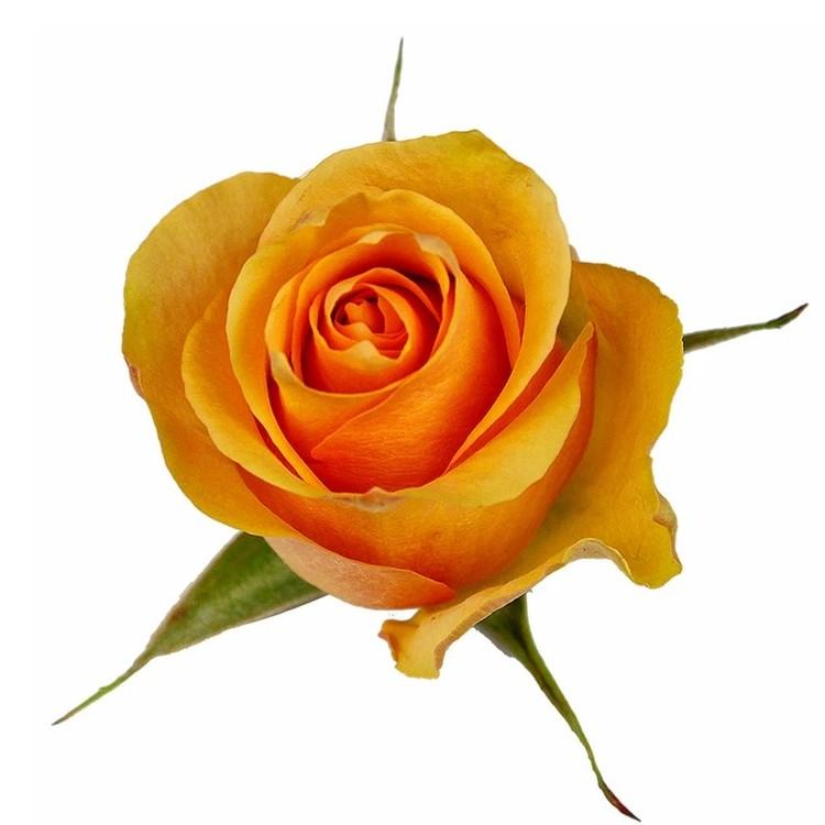 Cuenca Rose