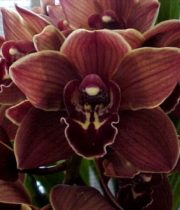 Orchid, Cymbidium, Mini-chocolate
