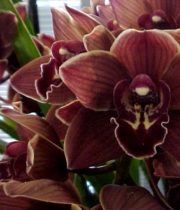 Orchid, Cymbidium, Mini-chocolate
