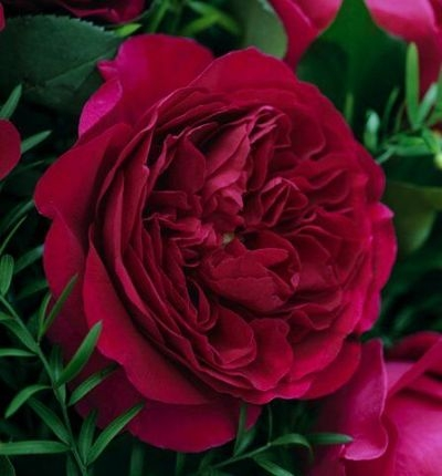 wholesale flowers | garden rose darcey