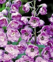 Delphinium, Hybrid-lavender