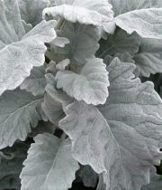 Dusty Miller, Wide Leaf-grey