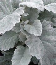 Dusty Miller, Flat Leaf-grey