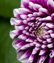 Dahlias, Field-purple/white