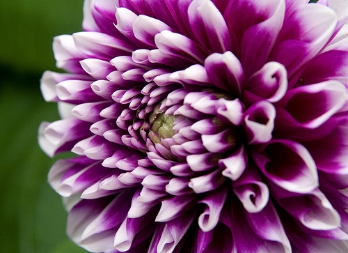 Dahlia-purple-white