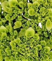 Hydrangea, Mini-tight-green