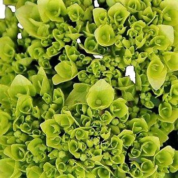 wholesale flowers | Hydrangea -mini green
