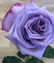 Rose, Deep Purple-SA